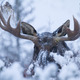 On a ridge below Fish Creek Falls in January a bull moose seeks cover in a stand of oak brush  Photo by Dave Dietrich