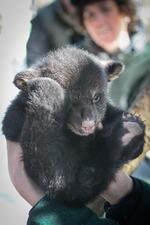 Medium_tom-rogers_vt-fish-_-wildlife-dept_vt-black-bears-_4_