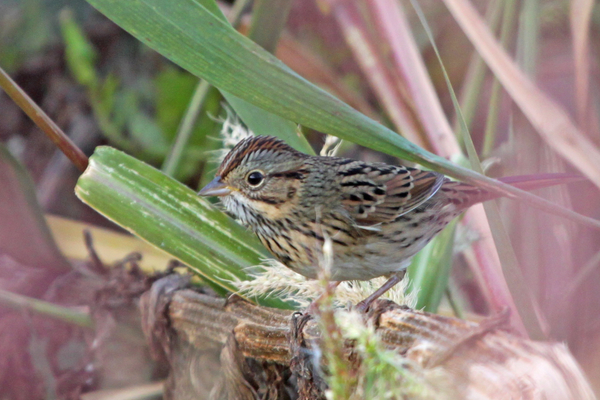 Photo courtesy Sean McCandless The very elusive Lincoln's Sparrow, who hides very well in the willow thickets along rivers, ponds, and wetlands.