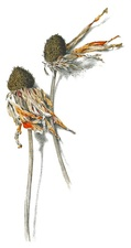 Introduction to Botanical Art - start Mar 07 2015 1000AM