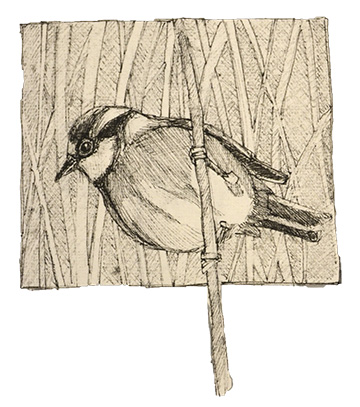 Chickadee sketch