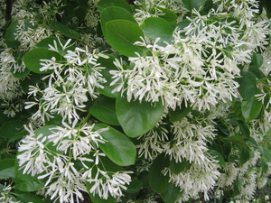 Fringe Benefits Little Chinese Fringe Tree Makes Lovely Addition to Texas Landscape - Mar 17 2015 1023AM