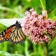 Thumb monarchs 20and 20milkweed