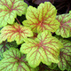 Thumb heuchera electric lime