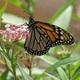 Thumb_monarch_20small