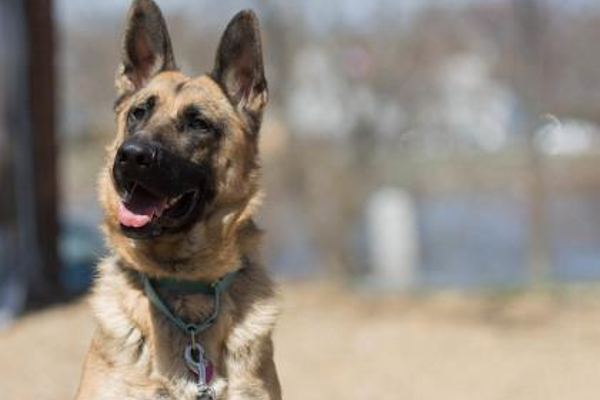 Jerry is a 1-year-old German Shepherd in need of a forever home. Can you help.