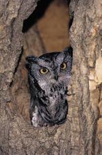 Medium owl