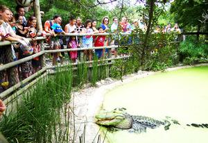 Medium alligator 20feeding 20with 20people 20web