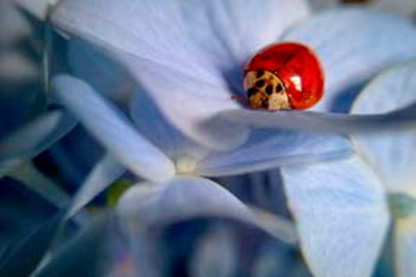 """I am obsessed with ladybugs. I love how bright red they are in relation to the black portion of their bodies. This photo was taken in my backyard of my former house on Sharpless Road. I loved the colors contrasted against the pale blue hydrangea bushes."""