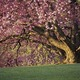 """""""I seemed to have caught a shot of this Dogwood tree at the perfect height of its full bloom."""""""