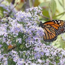 Medium monarch2