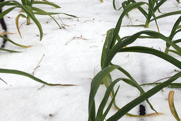 Garlic is hardy enough to grow in the snow