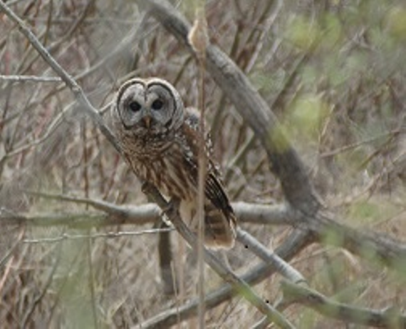 Barred owl   kargel