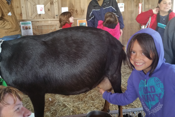 Alida Ortiz-Proctor learns about milking goats as part of Tewksbury Congregational Church's field trip to Heifer's Global Harvest Festival.