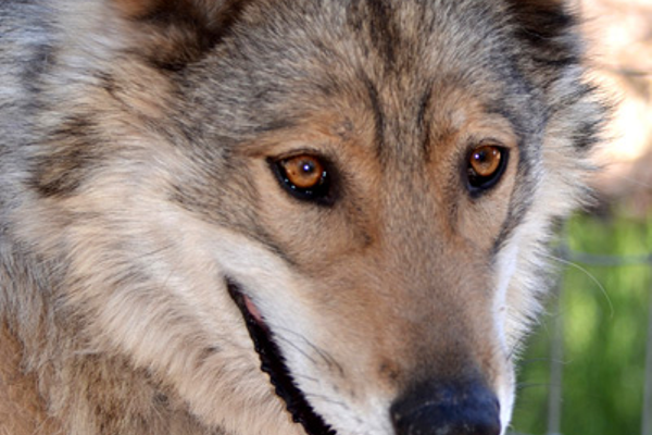 New Mexican Gray Wolf Dadyoe was born in the wild, but abducted by hunters as a pup.
