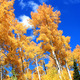 Routt county road side aspens. Photo By Nate Brothers