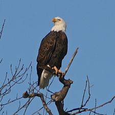 Medium eagles