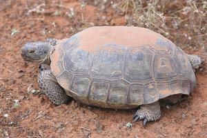 Medium desert tortoise