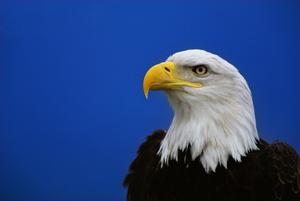 Medium eaglefest