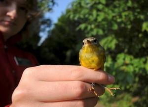 Medium birdbanding