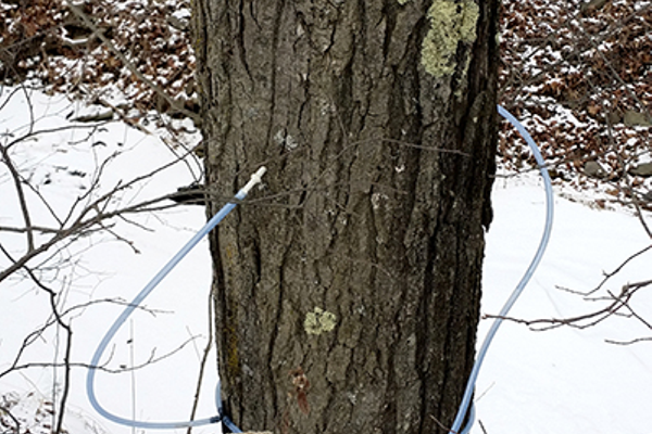 Tapping a maple tree.