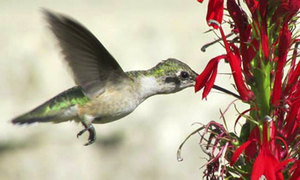 Medium hummingbird
