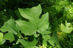 Medium liriodendron 20tulipifera 20mcc 20small
