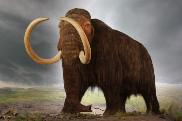 Wooly mammoth de extinction 041013