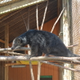 Oscar is a male binturong that the Lacovaras brought to the zoo from Idaho. Binturongs are native to Southeast Asia. They are arboreal and use their prehensile tail in trees. Oscar is a favorite among the zoo's visitors because he is quite active in his enclosure. Plans are to move him to a new enclosure closer to the entrance so he can greet guests as they arrive. In the near future, Cheryl hopes to obtain a female binturong to start breeding this endangered species.