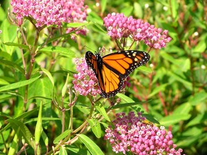 Medium monarch 20butterfly 20feeding 20on 20nectar 20from 20swamp 20milkweed  20like 20the 20kind 20that 20will 20be 20planted 20along 20the 20susquehanna 20to 20create 20monarch 20habitat.