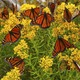 Monarch butterflies resting on milkweed during their migration