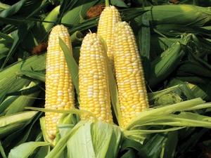 Medium corn 20hi 20res