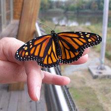 Medium monarch release deec