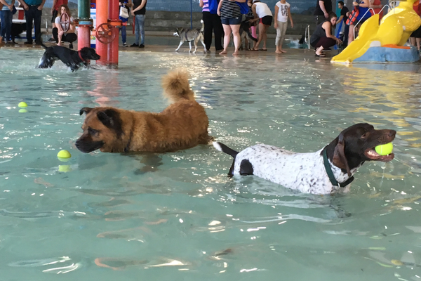 Dogs swam around the pool fetching tennis balls during the Dog Days of Summer event on Sept. 17 at the Family Fitness Center. (Travis Barton/City Journals)