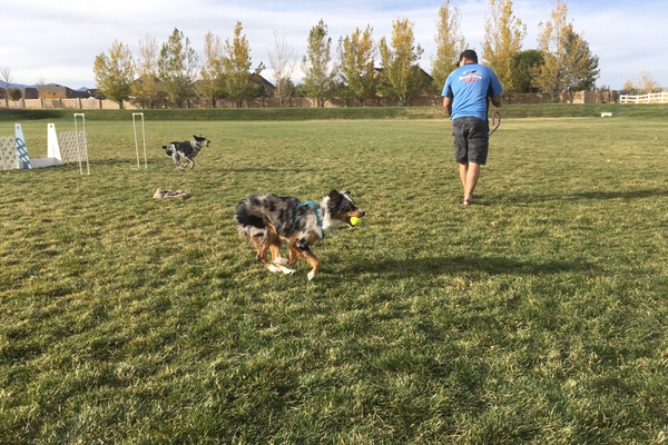 Callie, an Australian shepherd, runs toward her owner as Ralph, a blue heeler, finishes running through the course. Both dogs participate in flyball with the Thunder Paws club. (Travis Barton/City Journals)