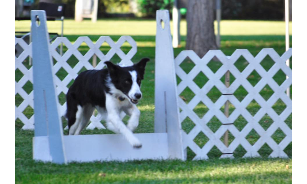 Callie, an Australian shepherd, prepares to leap off the springboard as she  participates in flyball. Callie is a member of Thunder Paws, ...