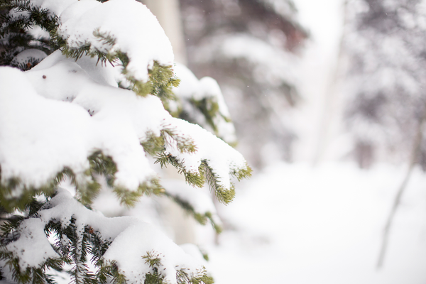 Recent snowfall on a pine tree on the Silver Lake Loop/ Quirky Shutter Photography