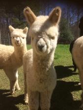 Medium alpacas peanut gallery w