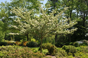 Medium crataegus 20tree