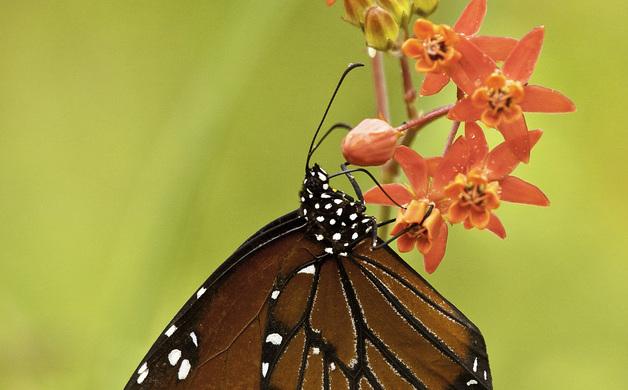Queen Butterfly_Milkweed_Flatten_WRC_Copyright William R Cox_Print_ Master_4191