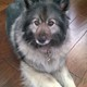 HADLEY » Hadley is a Keeshond who we rescued seven months ago. She's loving her new home in El Dorado Hills and enjoys taking lessons in rally obedience.—Linda