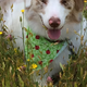 Hannah » My name is Hannah, and I'm a mini Aussie. I was born blind in one eye and can only see shadows and objects with my good eye. I don't let it stop me from doing what I love, however—hiking and playing ball. My favorite is a basketball, since I can see it.—Mary Evans