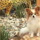 Dottie » Dottie is a 10-year-old, four-pound AKC champion papillon who resides in El Dorado Hills. She loves to sunbathe on her favorite rock at home.—Marion and Hunter DeCarlo
