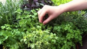 Medium herbs 300x169