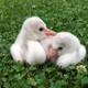Baby Flamingos Make Their Debut