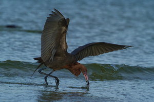 A reddish egret foraging for prey in shallow waters Photo by William R Cox