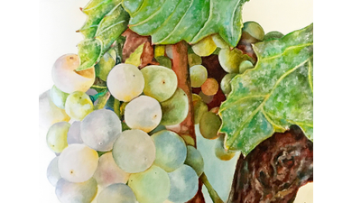 Grapes 20by 20paula 20amerine