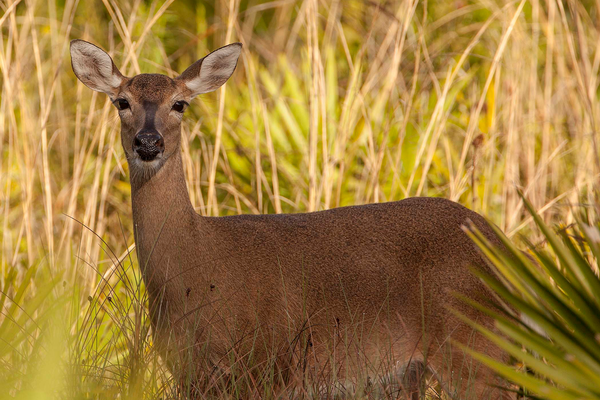 Babcock/Webb is home to white-tailed deer. Photo by William R. Cox.
