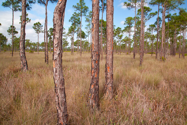 Much of Babcock/Webb's acreage is wet pine flatwoods. Photo by William R. Cox.