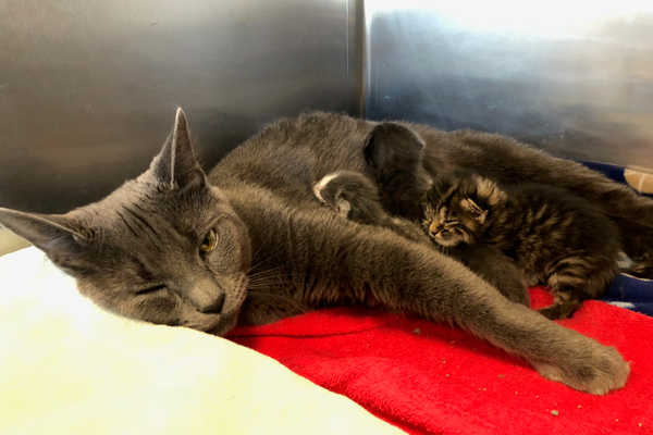 Church has been returned to her home with four of the kittens to which she gave birth. credit MSPCA-Angell